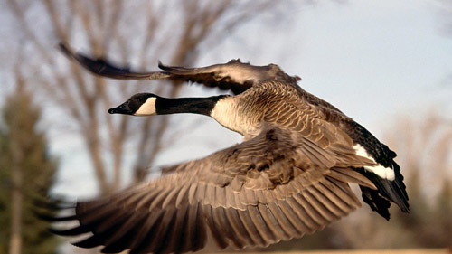 Great Canadian Wild Goose Chase